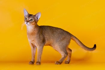 Tiffany Shardy. <p>Кошка абиссинской породы</p>