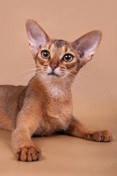 Абиссинская кошка из питомника Bene Vobis.