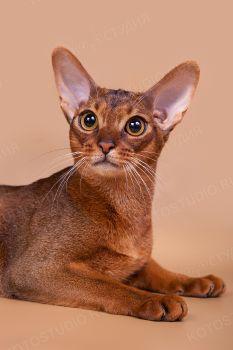 Кот абиссинской породы.