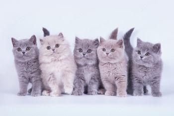 Британские котята из помета G питомника Soft Lines.