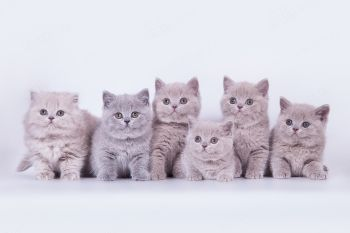 Британские котята помета V из питомника Soft Lines.