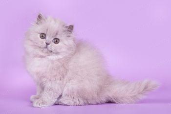 Germiona of Soft Lines, британский котенок лилового окраса. Питомник Soft Lines.