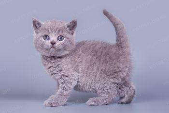 Британский котенок.