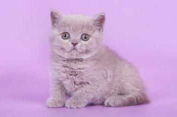 Valencia of Soft Lines. Британский котенок девочка лилового окраса. Питомник Soft Lines.