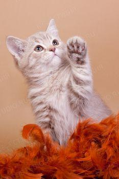 Капучино. <p>Британский котенок</p>