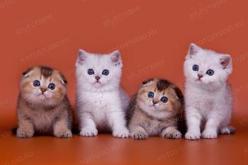 Шотландские котята из питомника Happy Anthills.