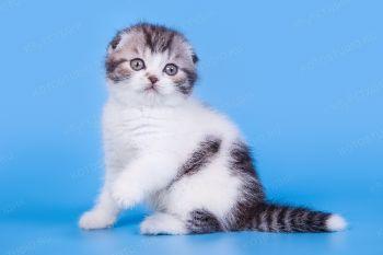Котенок Шотландской породы.