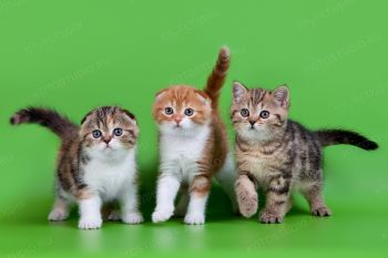 Котята Шотландской породы из г. Пенза.