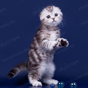 Шотландский котенок из питомника Арженто Фиоре