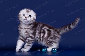 Шотландский котенок из питомника Арженто Фиоре.