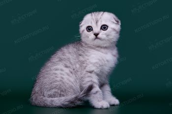 Шотландский котенок, заводчица Елена Белова.