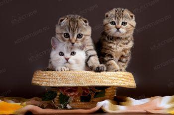 Котята Скоттиш-фолд из питомника Bene Vobis.