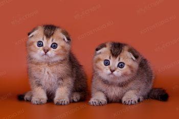 Котята скоттиш-фолд из питомника Happy Anthills