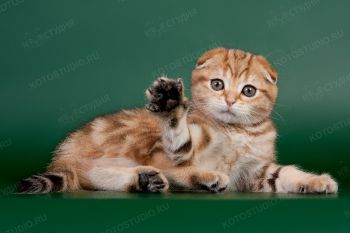 Miss Margo, котенок породы скоттиш-фолд.