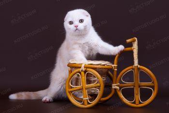 Котенок скоттиш-фолд из г. Саратов.