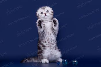 Котенок Скоттиш-фолд из питомника Арженто Фиоре.