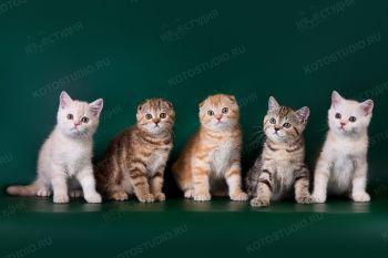 Котята шотландской породы из питомника Шанталь.