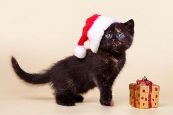 Шотландский котенок из питомника Feantary.