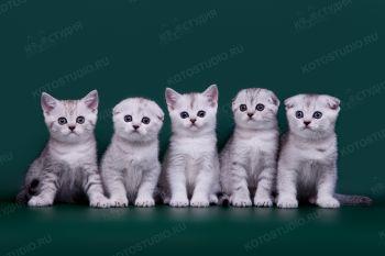 Шотландские котята, заводчица Елена Белова.