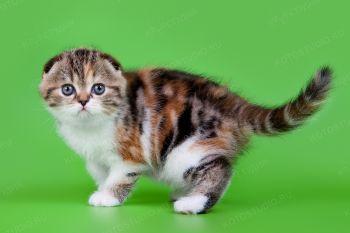 Шотландский котенок девочка из г. Пенза.