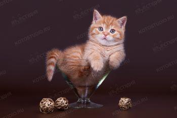 Шотландский котенок из г. Саратов.