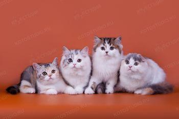 Шотландские котята из питомника Yaskrava Zirka.