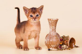Абиссинский котенок из питомника Bene Vobis.