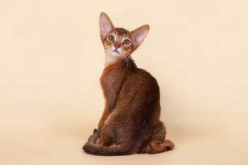 Котенок абиссинской породы.