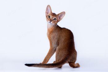 Абиссинский котенок из питомника Heart of Desert.