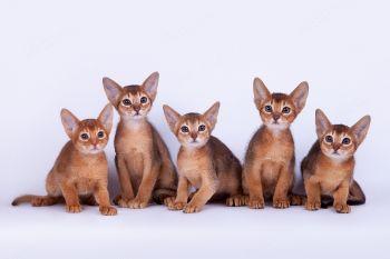 Абиссинские котята.