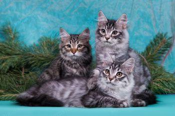 Litter A Lenabear. Сибирские котята.