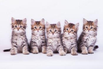 Сибирские котята.