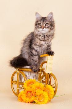 Ch WCF Yulissa Adagio. Сибирский котенок.