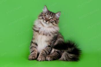 Сибирский котенок из питомника Gladness Ray.