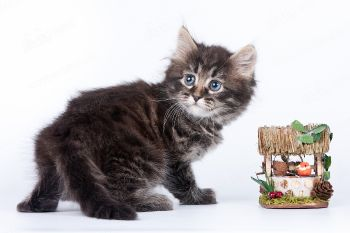 Сибирский котенок. <p>Заводчик - Лариса Корытникова, г. Саратов</p>