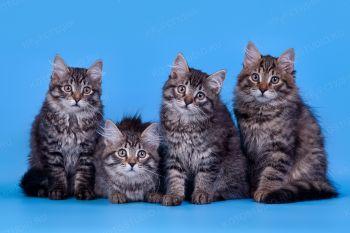 Сибирские котята из питомника Manchzhury.