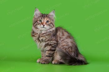 Сибирский котенок.