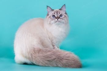 Бирюза оф ЕваНева. Невская Маскарадная кошка, окрас сил табби пойнт.