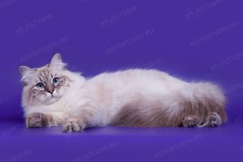Оливия Данвел. <p>Кошка породы Невская маскарадная из г. Москва</p>