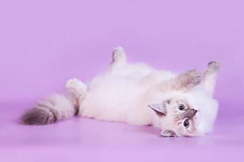 Aveline LucianAurora, кошка породы Невская маскарадная. Питомник LucianAurora