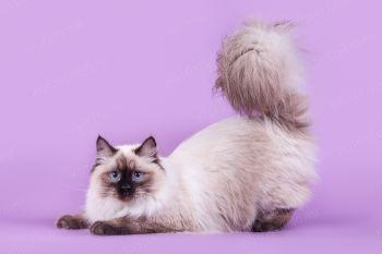 Кошка породы Невская маскарадная.