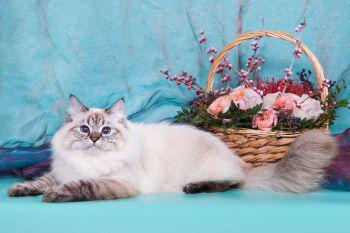 Бирюза оф ЕваНева. Кошка породы Невская Маскарадная, Окрас сил табби пойнт.