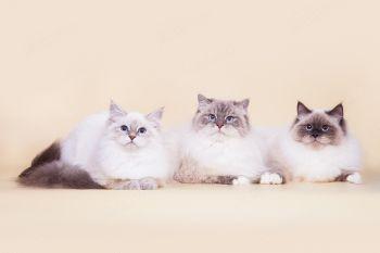 Невские маскарадные кошки из питомника LucianAurora.