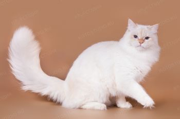 HAKUNA MATATA Cooper White Wizard. Невский маскарадный кот из питомника White Wizard.