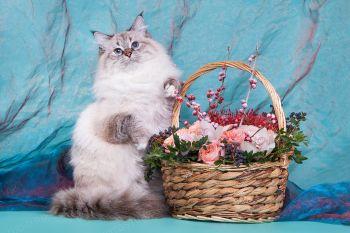Багратион оф ЕваНева. Невский маскарадный кот, окрас сил табби пойнт с белым.
