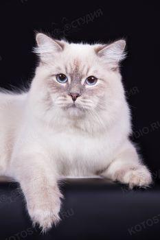 Diamond Ohotnik Severa. Кот породы невская маскарадная, окрас блю-табби-поинт.