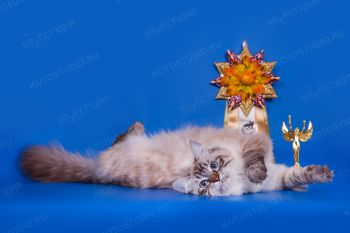 Freya Angel Neva (Фрея Ангел Невы). Невская Маскарадная кошка из питомника Ангел Невы.