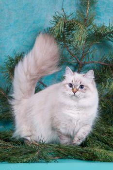 HAKUNA MATATA Berill White Wizard. Невская маскарадная кошка из питомника White Wizard.