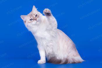 Тэффи Львиное Сердце оф Ангел Невы. Кошка породы Невская маскарадная окраса блю-сильвер-тебби-поинт, питомник Ангел Невы.
