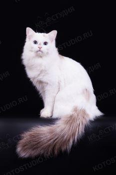 Захар Сибирская звезда. Кот породы Невская Маскарадная.